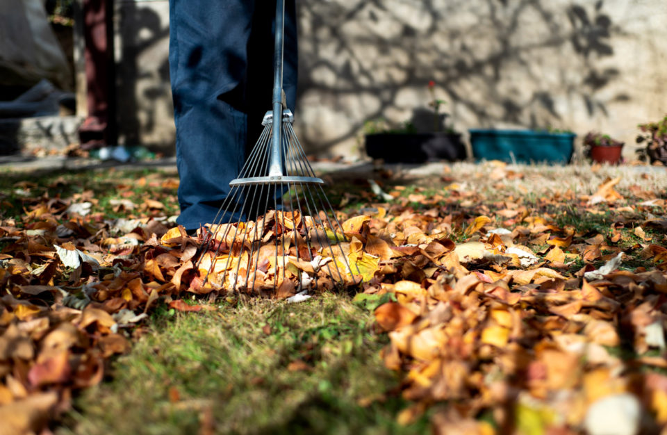 Man collecting fallen autumn leaves in the backyard