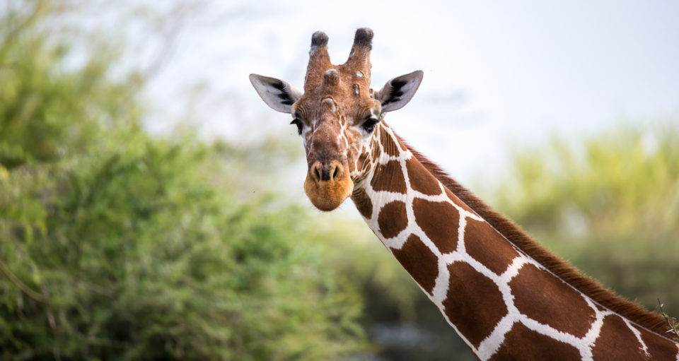 A face of a giraffe in close-up